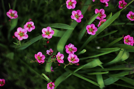 Soft and blur conception.Beautiful pink flowers small size blooming in the garden close up on the background of green grass and leaves.