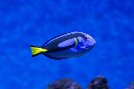 Dory fish closeup (Palette surgeonfish) inside coral reefs in the blue aquarium Stock Photo