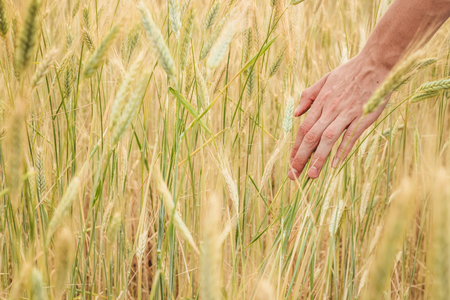 Hand of youg man passes through yellow spikelets of wheat on a field close up on a sunny summer day. Stock Photo