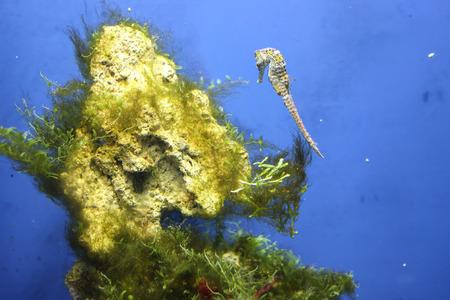 Sea Dragon fish closeup in the aquarium background.