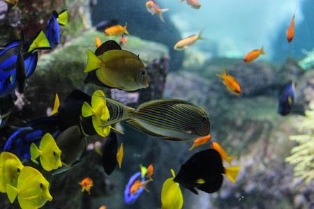 Primo piano del pesce di Dory o pesce chirurgo della tavolozza all'interno delle barriere coralline nell'acquario blu