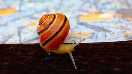 A large yellow snail showed a mustache. A ordinary garden snail on a gray table on a summer day.