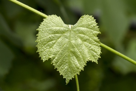 sallow: The green grape leaf