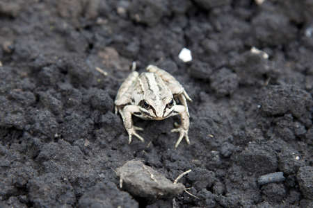 anuran: frog on a wet ripped soil