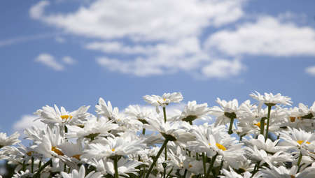 daisies on a background of the sky with clouds photo