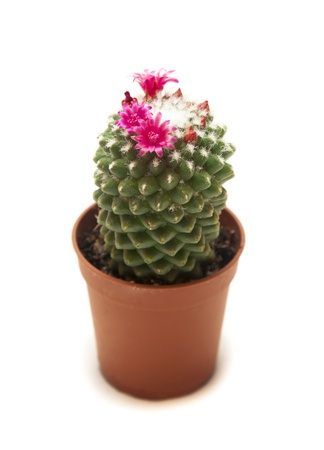 blooming cactus on a white background  photo