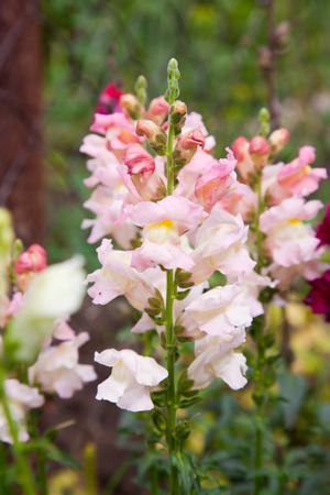 snapdragon: Snapdragon flower closeup