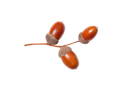 acorns closeup on white background photo