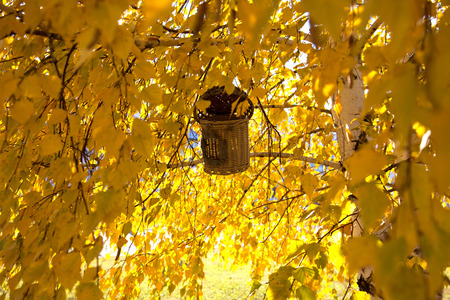 birds on branch: birds nest on a branch of birch with yellow leaves
