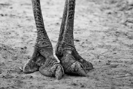biped: Legs of ostrich, black and white