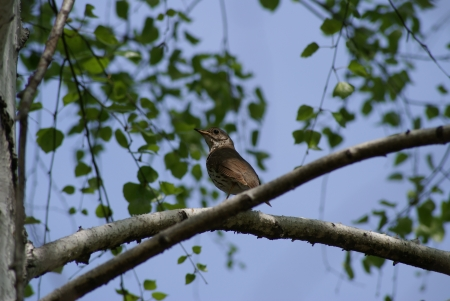 Motley bird on a branch of birch Stock Photo