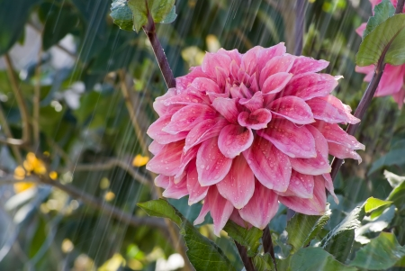 Dahlia flower and falling drops of water