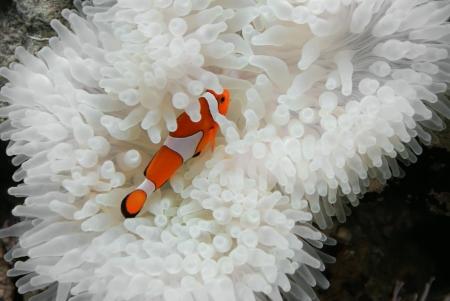false percula clownfish: Clownfish and anemone