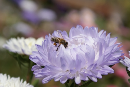 honey bee collecting nectar on blue aster Stock Photo