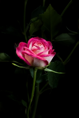one pink rose with leafs on a black background