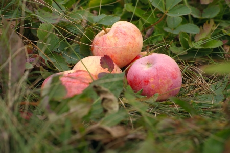 Fallen red apples in autumn grass