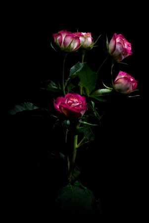 Bicolor pink rose with leafs on a black background