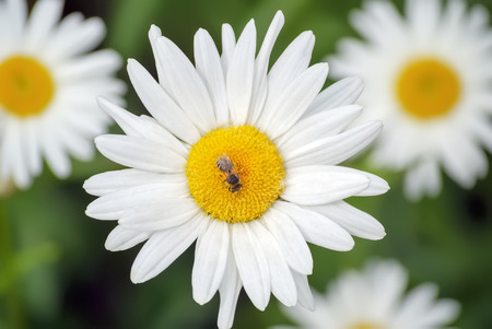 Bee on the chamomile flower on a background of green meadow