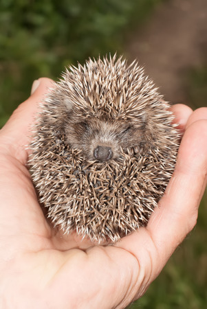 Little hedgehog holding into human hand Stock Photo