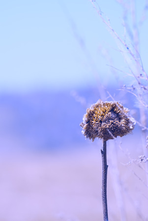 wilting: Dry sunflower plant in a field background with color filters, late autumn, frosty morning, end of season Stock Photo
