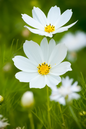 Close up of white Cosmea (cosmos) flowers in the field on the soft blurred green background.