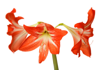 Hippeastrum Amaryllis red flowers on white background