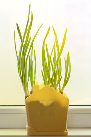 A growing green onion into a pot on a windowsill in the morning sunlight. Spring. Home gardening