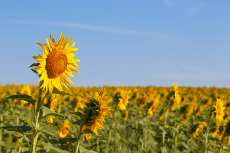 Sunflower field and blue sky.Selective focus on the foreground flower.