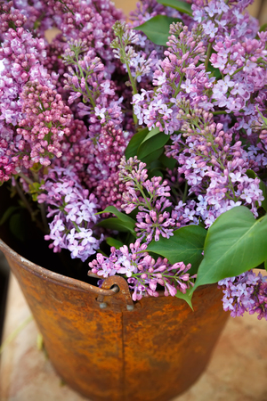 Blooming lilac flowers spring bouquet in the old bucket