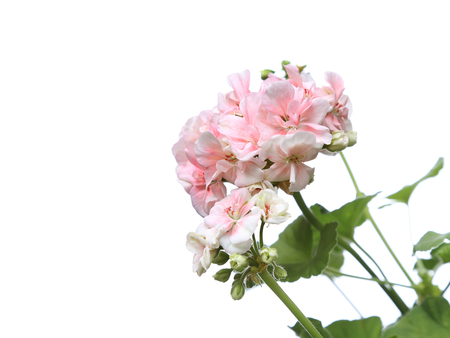Blossoming light pink geranium flower branch isolated on white background Stock Photo