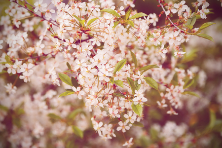 Beautiful cherry tree blossom, floral background, spring blooming flowers