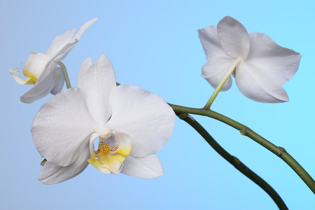 White orchid flowers on blue background Banco de Imagens