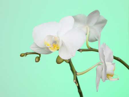 White orchid flowers on green background Banco de Imagens