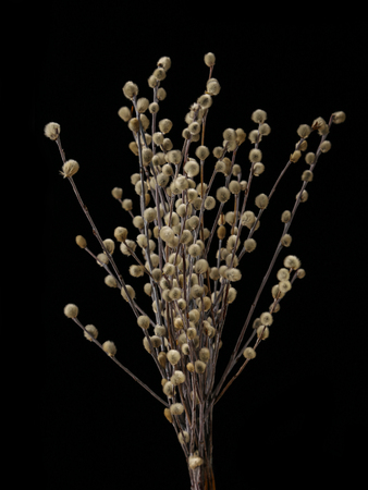 Pussy-willow branches with catkins isolated on black background Banco de Imagens