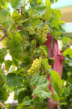 Large bunch of white wine grapes hang from a vine with green leaves. Garden background . Wine concept.