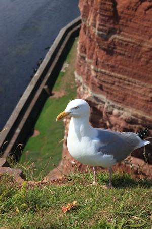 helgoland: seagull of helgoland island- germany.