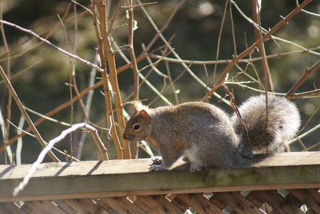 paling: Squirrel on the paling in the middle of the day. Stock Photo