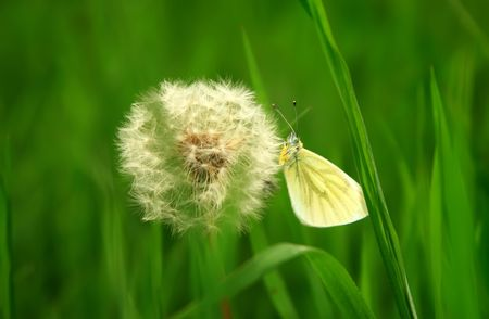 small butterfly sits on a dandelion photo