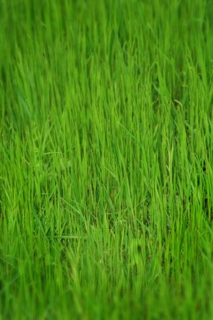 glade: Photo of a green glade with a young grass-is possible to use as a background for illustrations and collages