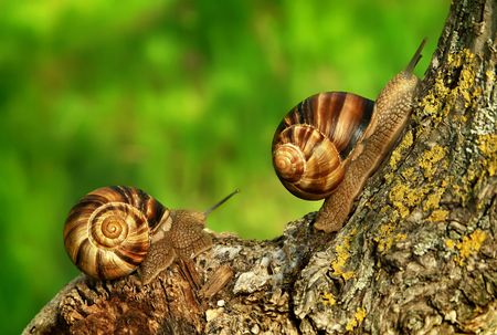 Dos de uva de caracoles en la naturaleza  Foto de archivo - 3032221
