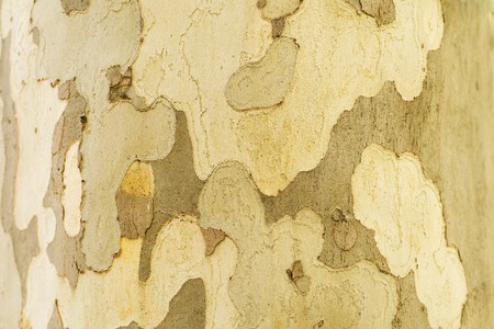 pealing: Series. The closeup of a sycamores tree bark.