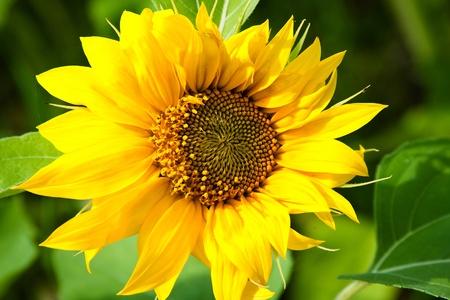 Series. Sunflower fields Stock Photo - 9677048