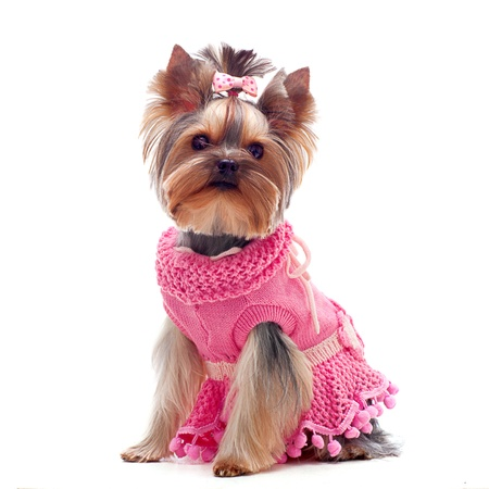 dressed up: Portrait of a cute yorksire terrier in pink dress Stock Photo