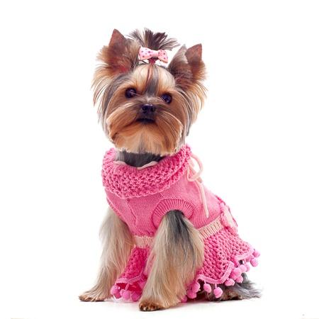 perros vestidos: Retrato de un terrier yorksire lindo en vestido rosa