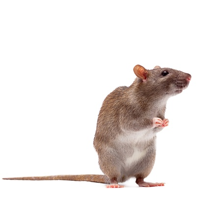 rodents: Cute domestic brown rat standing n a tiptoe