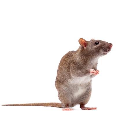 rats: Ratto di marrone domestico carino n in piedi un tiptoe