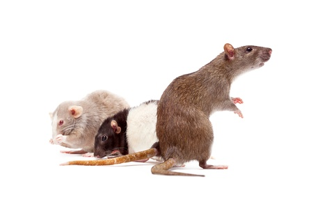 A group of domestic rats Stock Photo - 8459752