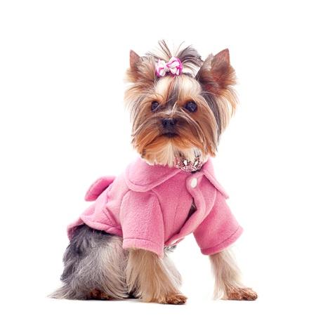 perros vestidos: Retrato de un lindo terrier de yorkshire en escudo Rosa