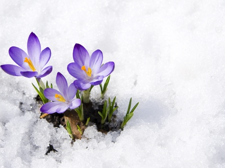 crocuses in snow 写真素材