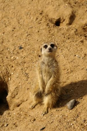 suricate: Suricate  meerkat  Stock Photo